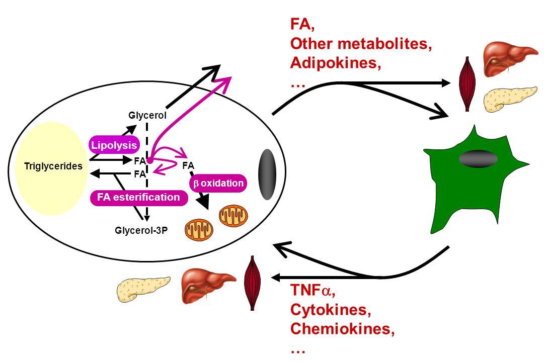 FA, Other metabolites, Adipokines, … TNF , Cytokines, Chemiokines, … FA Glycerol-3P FA Glycerol FA  oxidation Lipolysis FA esterification Triglycerides