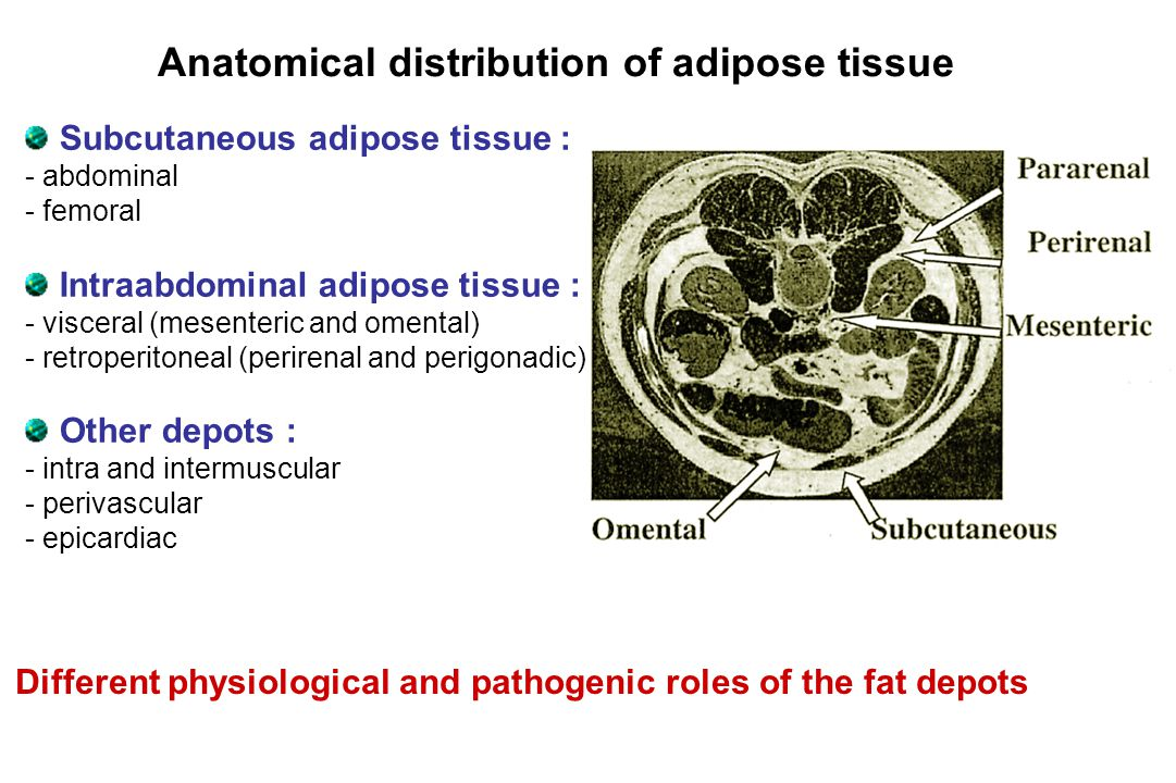 Subcutaneous adipose tissue : - abdominal - femoral Intraabdominal adipose tissue : - visceral (mesenteric and omental) - retroperitoneal (perirenal and perigonadic) Other depots : - intra and intermuscular - perivascular - epicardiac Anatomical distribution of adipose tissue Different physiological and pathogenic roles of the fat depots