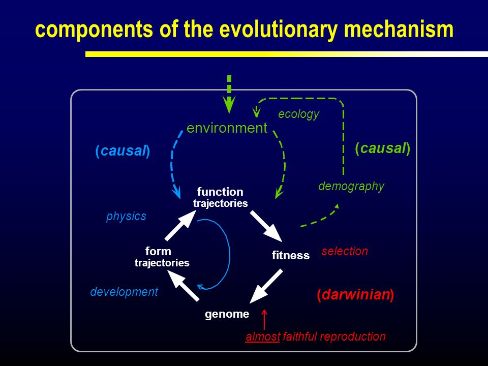 fitness function trajectories form trajectories genome development selection (darwinian) (causal) physics almost faithful reproduction ecology (causal) environment adaptive dynamics demography Stefan Geritz, me & various collaborators (1992, 1996, 1998,...)