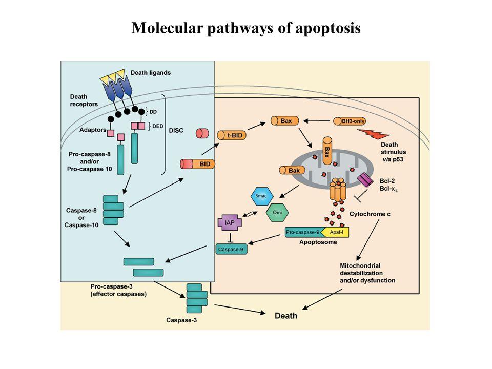 Molecular pathways of apoptosis