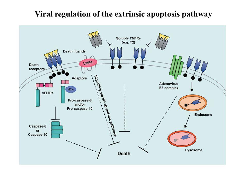 Viral regulation of the extrinsic apoptosis pathway
