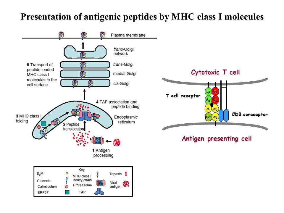 Presentation of antigenic peptides by MHC class I molecules T cell receptor 1111 2222 3333 VVVV VVVV CCCC CCCC 2m2m2m2m CD8 coreceptor Cytotoxic T cell Antigen presenting cell Antigen presenting cell