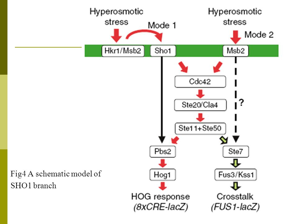 Fig4 A schematic model of SHO1 branch