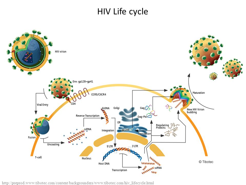 HIV Life cycle http://preprod.www.tibotec.com/content/backgrounders/www.tibotec.com/hiv_lifecycle.html