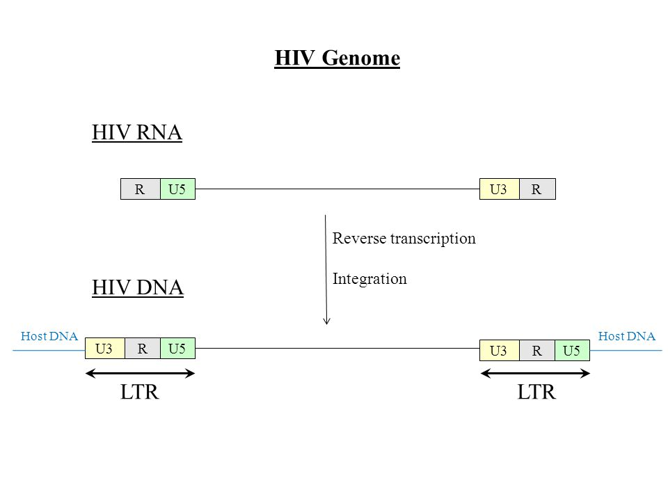 RU5RU3 HIV RNA HIV DNA RU5 U3 RU5 U3 LTR Host DNA Reverse transcription Integration HIV Genome