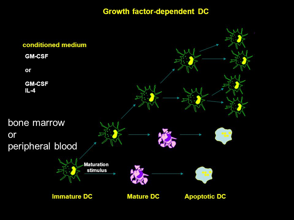 Growth factor-dependent DC Immature DCMature DCApoptotic DC GM-CSF or GM-CSF IL-4 conditioned medium bone marrow or peripheral blood Maturation stimulus