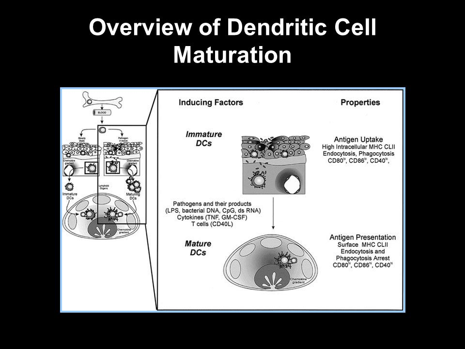 Overview of Dendritic Cell Maturation