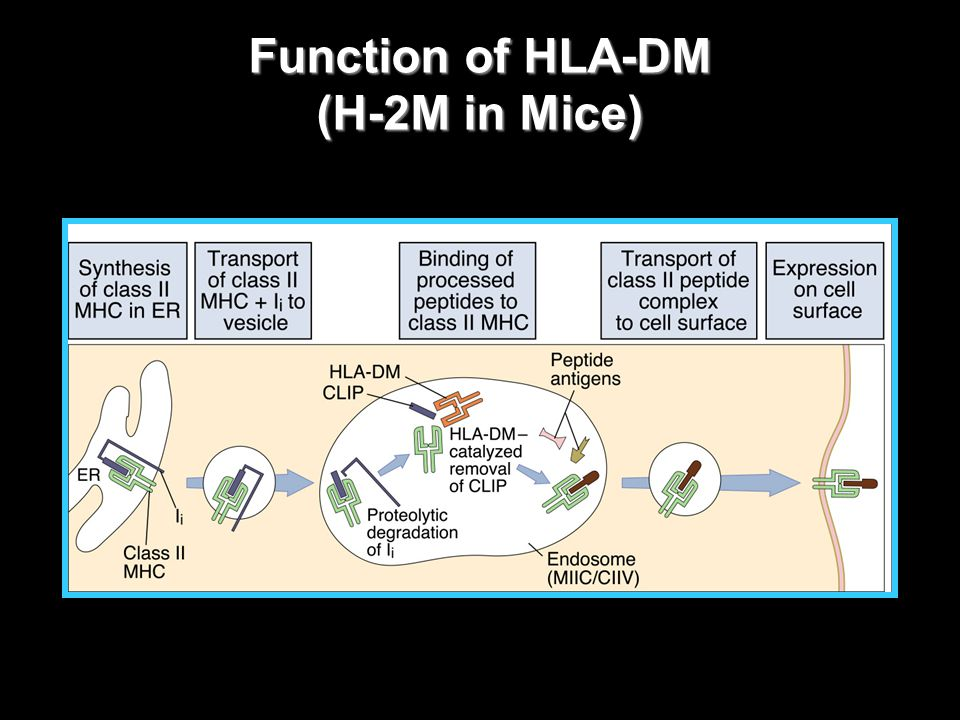 Function of HLA-DM (H-2M in Mice)