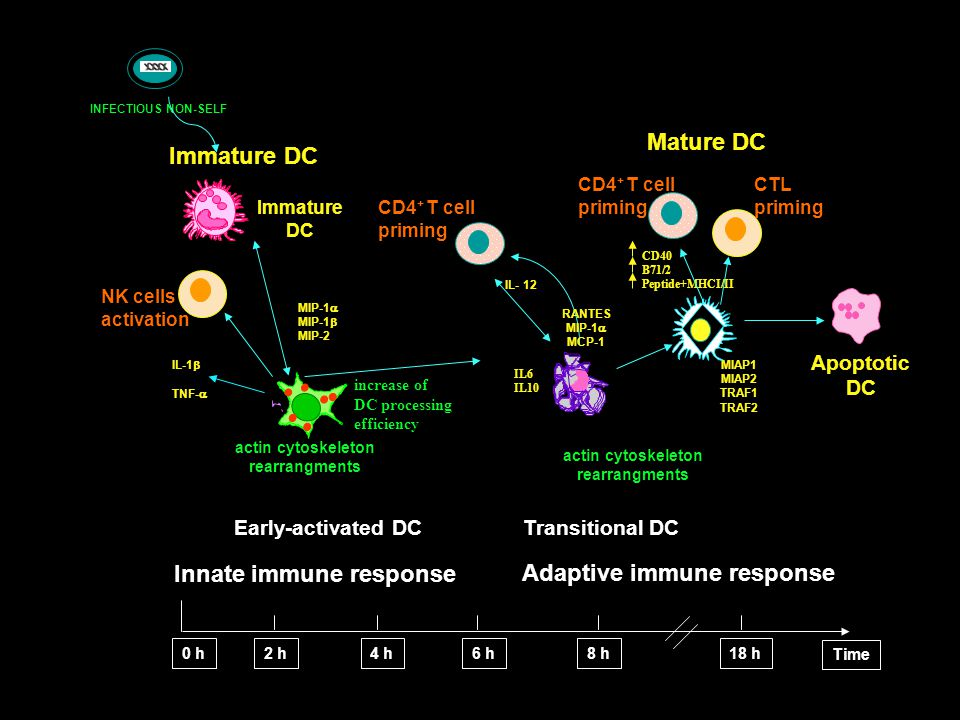 NK cells activation Immature DC MIP-1  MIP-1  MIP-2 Mature DC Early-activated DC IL- 12 CD4 + T cell priming Apoptotic DC IL-1  TNF-  RANTES MIP-1  MCP-1 Immature DC Transitional DC Innate immune response 0 h2 h4 h6 h8 h18 h Time actin cytoskeleton rearrangments actin cytoskeleton rearrangments MIAP1 MIAP2 TRAF1 TRAF2 Adaptive immune response CD4 + T cell priming CTL priming CD40 B71/2 Peptide+MHCI/II increase of DC processing efficiency IL6 IL10 INFECTIOUS NON-SELF