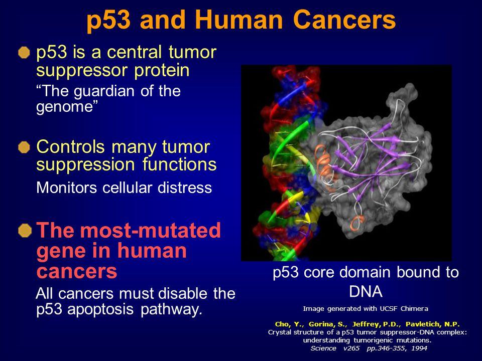 Cho, Y., Gorina, S., Jeffrey, P.D., Pavletich, N.P. Crystal structure of a p53 tumor suppressor-DNA complex: understanding tumorigenic mutations. Scie