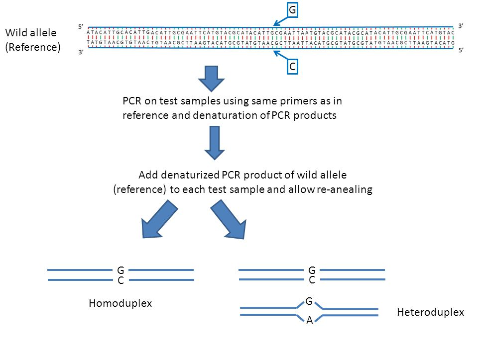 Wild allele (Reference) PCR on test samples using same primers as in reference and denaturation of PCR products Add denaturized PCR product of wild al