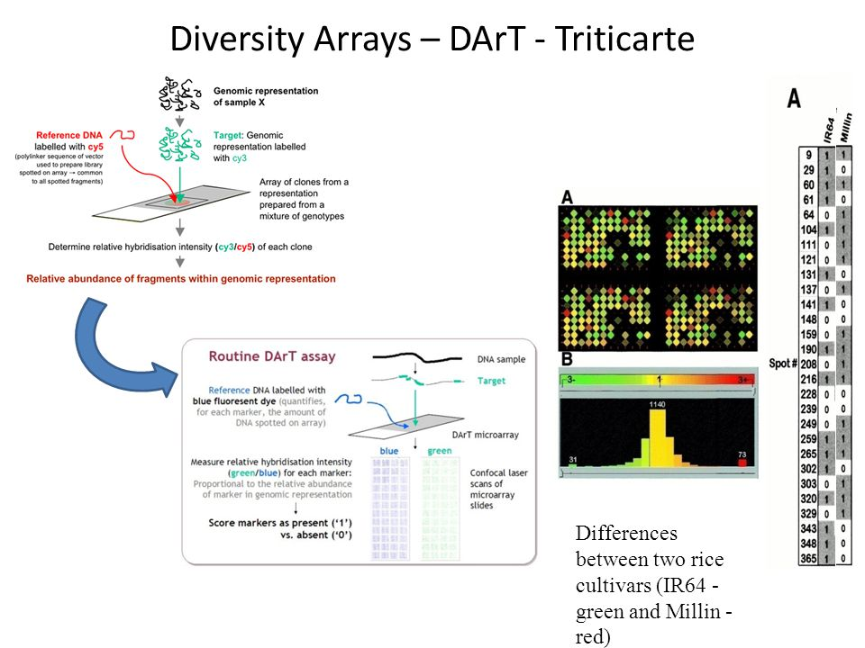 Diversity Arrays – DArT - Triticarte Differences between two rice cultivars (IR64 - green and Millin - red)