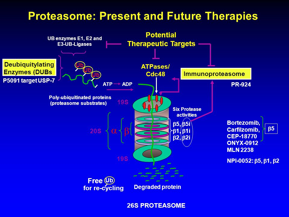 20S 19S    5,  5i  1,  1i  2,  2i ATPases/ Cdc48 Potential Therapeutic Targets 26S PROTEASOME ATPADP UB enzymes E1, E2 and E3-UB-Ligases Ub Poly-ubiquitinated proteins (proteasome substrates) Free for re-cycling Six Protease activities Degraded protein Ub Immunoproteasome Proteasome: Present and Future Therapies Deubiquitylating Enzymes (DUBs) Bortezomib, Carfilzomib, CEP-18770 ONYX-0912 MLN 2238 NPI-0052:  5,  1,  2 55 PR-924 P5091 target USP-7