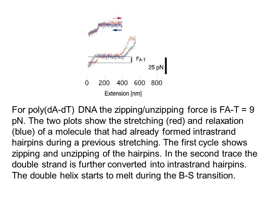 For poly(dA-dT) DNA the zipping/unzipping force is FA-T = 9 pN. The two plots show the stretching (red) and relaxation (blue) of a molecule that had a