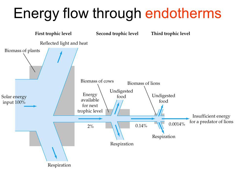 Energy flow through endotherms
