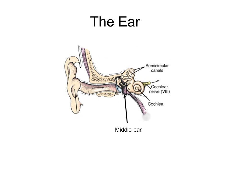 The Ear Middle ear