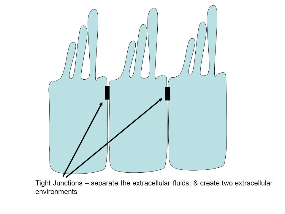 Tight Junctions – separate the extracellular fluids, & create two extracellular environments