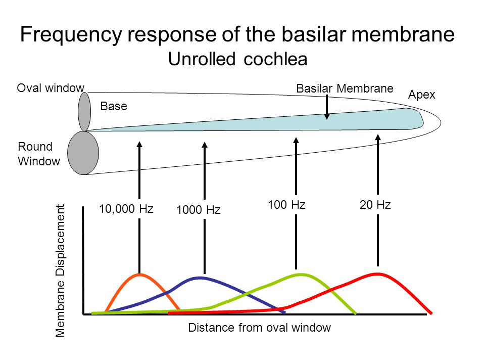 Oval window Round Window Basilar Membrane Frequency response of the basilar membrane Unrolled cochlea Distance from oval window Membrane Displacement 10,000 Hz 1000 Hz 100 Hz Base Apex 20 Hz