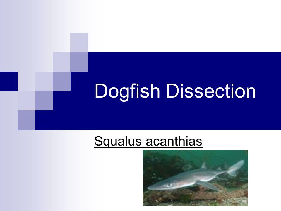 Dogfish Dissection Squalus acanthias