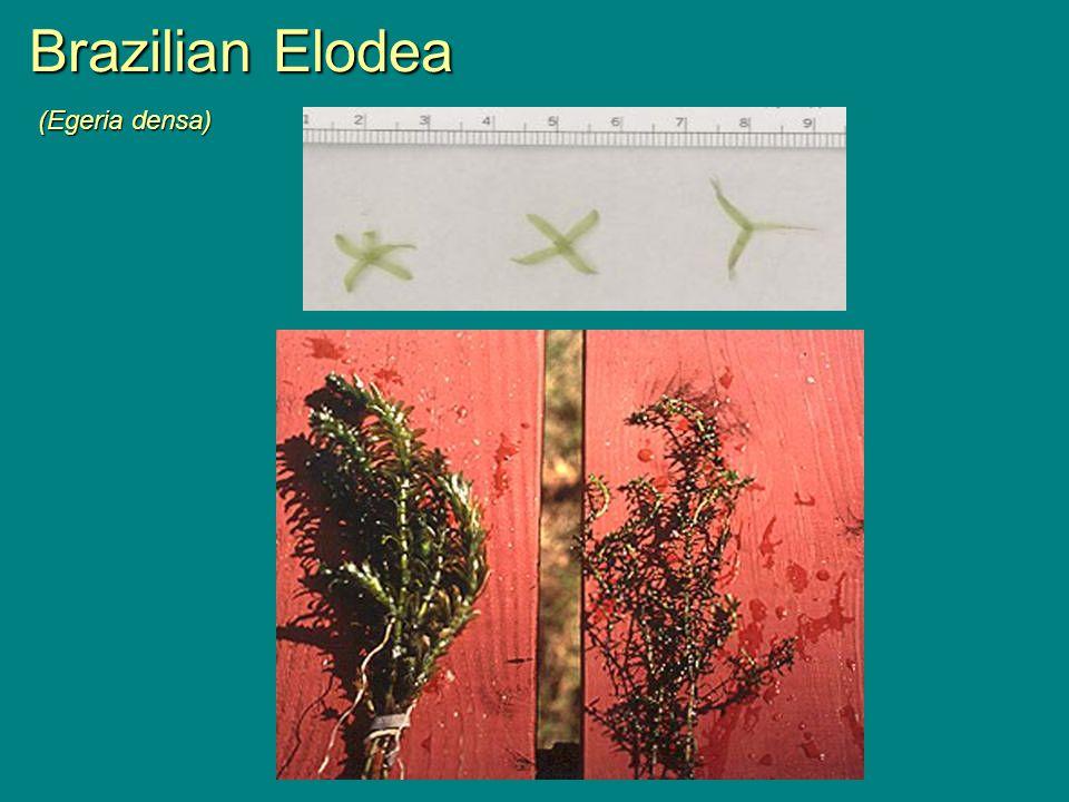 Brazilian Elodea (Egeria densa)