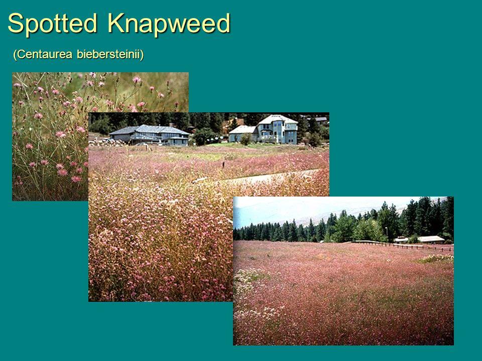 Spotted Knapweed (Centaurea biebersteinii)