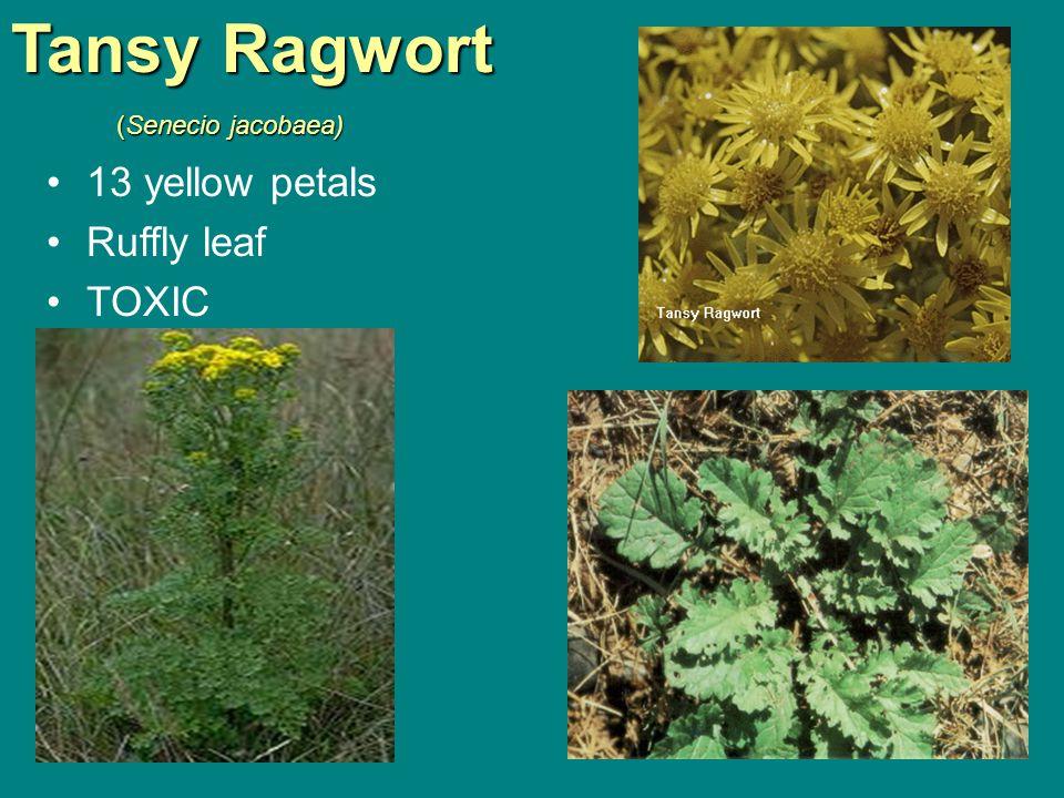 Tansy Ragwort (Senecio jacobaea) (Senecio jacobaea) 13 yellow petals Ruffly leaf TOXIC