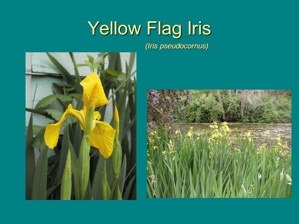 Yellow Flag Iris (Iris pseudocornus)