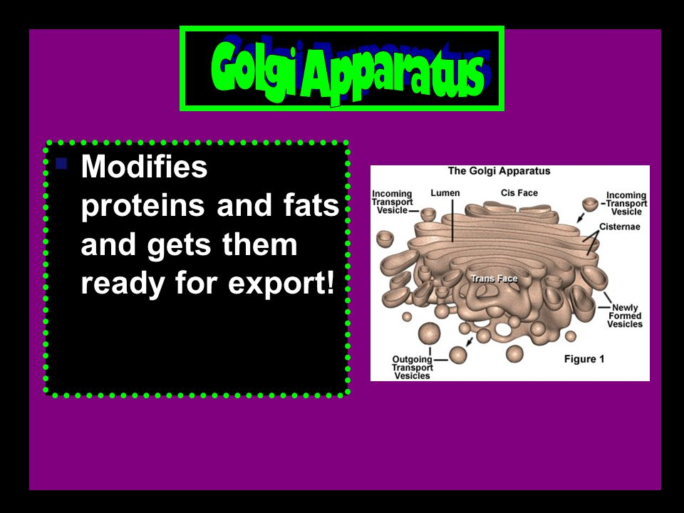  Modifies proteins and fats and gets them ready for export!