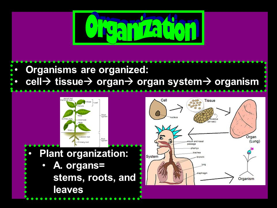 Organisms are organized: cell  tissue  organ  organ system  organism Plant organization: A.