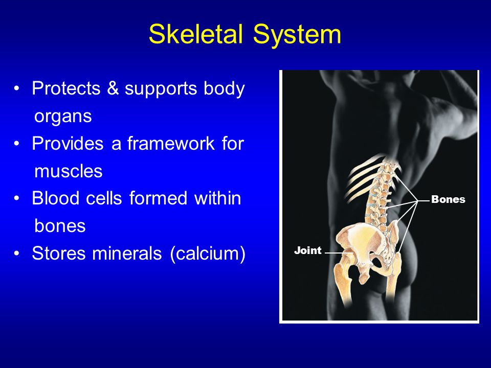 Skeletal System Protects & supports body organs Provides a framework for muscles Blood cells formed within bones Stores minerals (calcium) Bones Joint