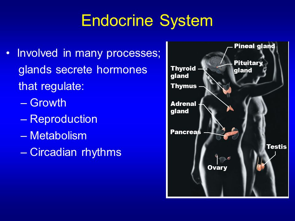 Endocrine System Involved in many processes; glands secrete hormones that regulate: –Growth –Reproduction –Metabolism –Circadian rhythms Pineal gland