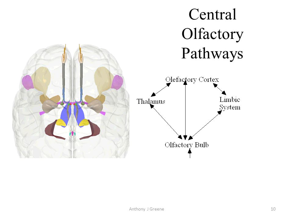 Anthony J Greene11 Central Olfactory Pathways