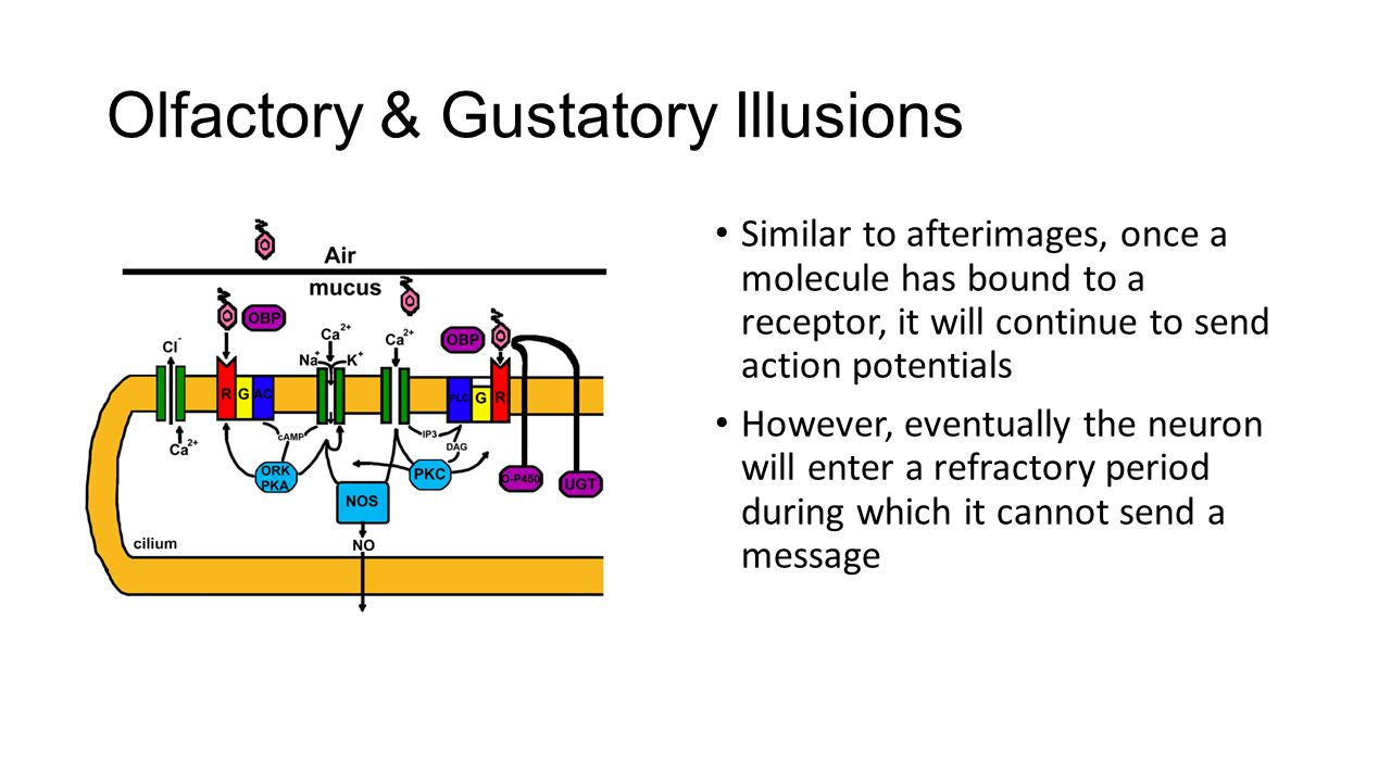Olfactory & Gustatory Illusions Similar to afterimages, once a molecule has bound to a receptor, it will continue to send action potentials However, eventually the neuron will enter a refractory period during which it cannot send a message