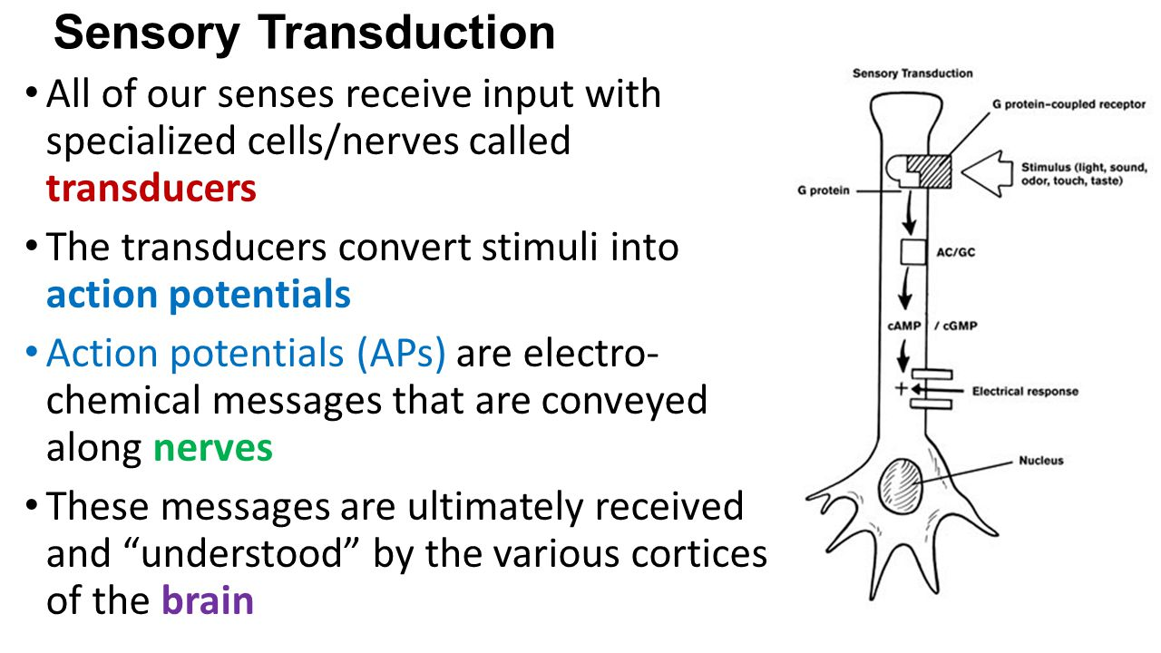 Sensory Transduction All of our senses receive input with specialized cells/nerves called transducers The transducers convert stimuli into action potentials Action potentials (APs) are electro- chemical messages that are conveyed along nerves These messages are ultimately received and understood by the various cortices of the brain
