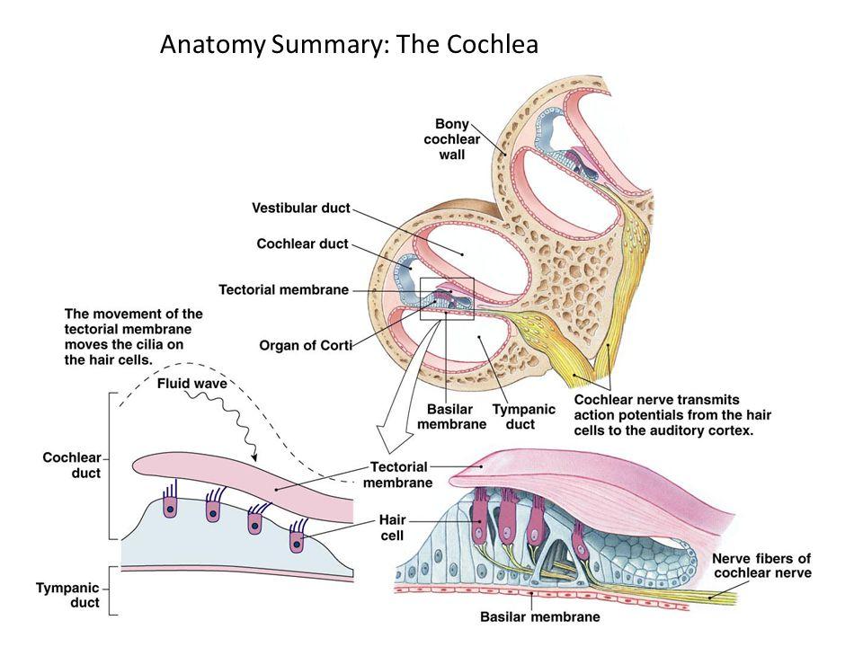 Anatomy Summary: The Cochlea