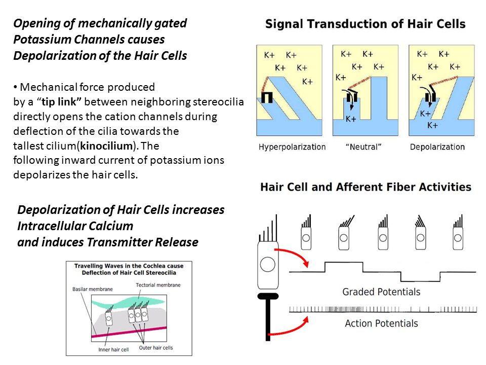"""Opening of mechanically gated Potassium Channels causes Depolarization of the Hair Cells Mechanical force produced by a """"tip link"""" between neighboring"""