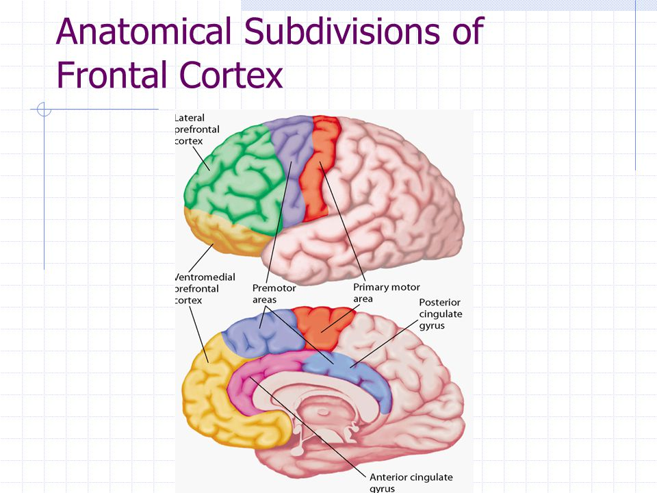 Anatomical Subdivisions of Frontal Cortex