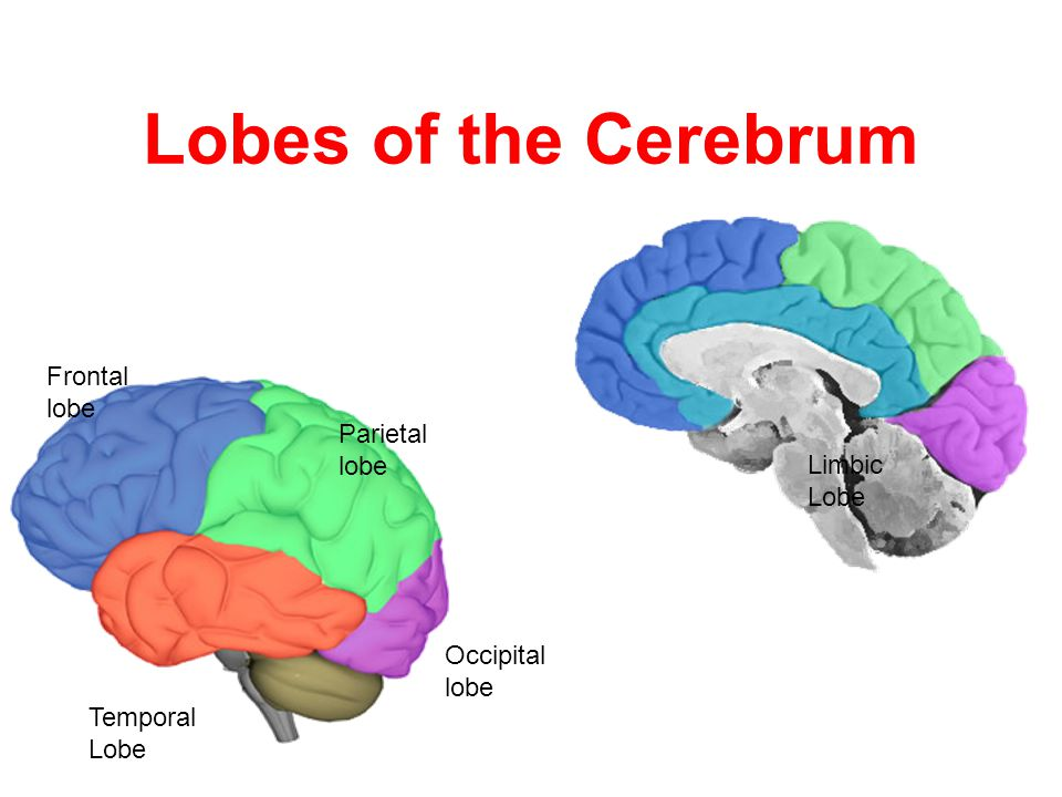 Lobes of the Cerebrum Frontal lobe Parietal lobe Occipital lobe Temporal Lobe Limbic Lobe