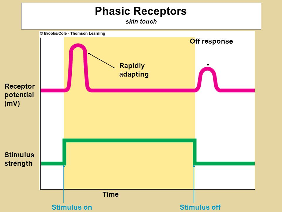 Stimulus off Rapidly adapting Stimulus on Time Receptor potential (mV) Stimulus strength Off response Phasic Receptors skin touch