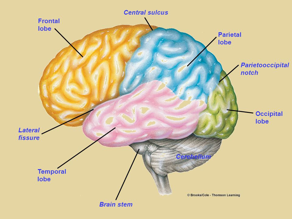Frontal lobe Central sulcus Parietal lobe Parietooccipital notch Occipital lobe Cerebellum Brain stem Temporal lobe Lateral fissure