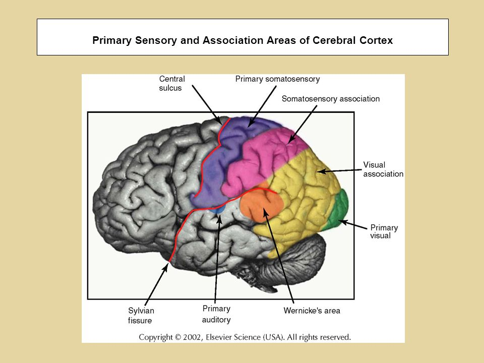 Primary Sensory and Association Areas of Cerebral Cortex