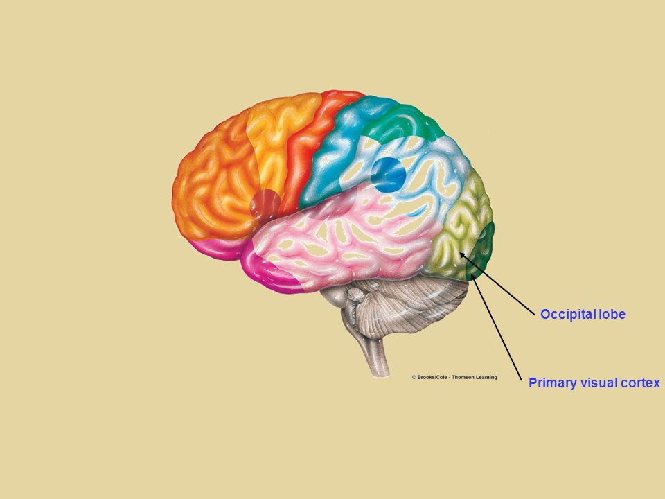 Occipital lobe Primary visual cortex