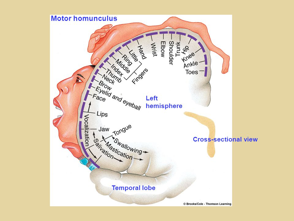 Left hemisphere Cross-sectional view Temporal lobe Motor homunculus