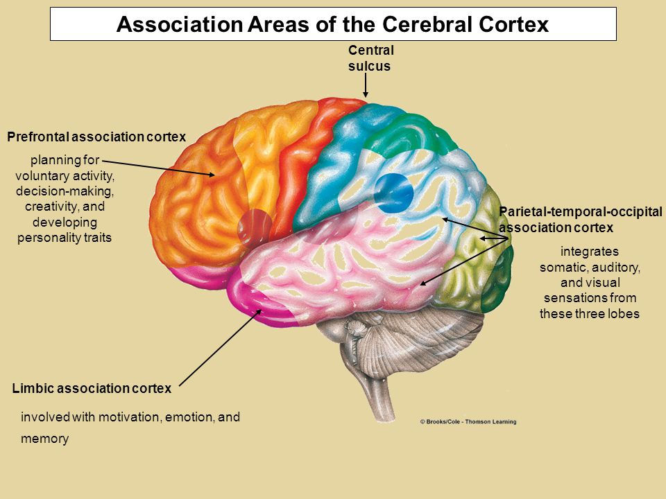 Central sulcus Parietal-temporal-occipital association cortex Limbic association cortex Prefrontal association cortex Association areas of the cortex carry out many higher functions: Association Areas of the Cerebral Cortex planning for voluntary activity, decision-making, creativity, and developing personality traits integrates somatic, auditory, and visual sensations from these three lobes involved with motivation, emotion, and memory