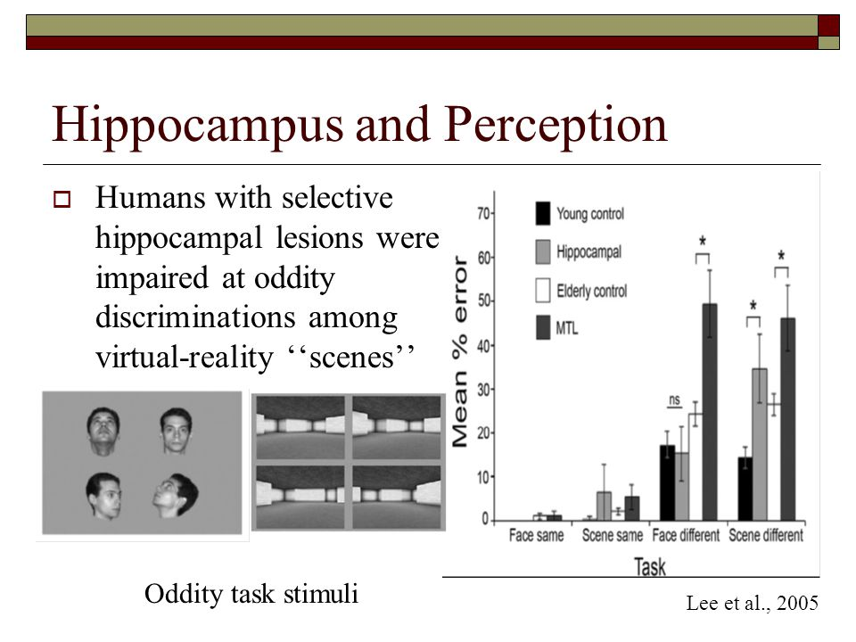 Hippocampus and Perception  Humans with selective hippocampal lesions were impaired at oddity discriminations among virtual-reality ''scenes'' Oddity task stimuli Lee et al., 2005