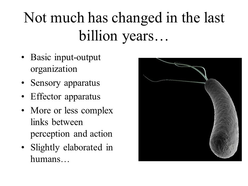 Not much has changed in the last billion years… Basic input-output organization Sensory apparatus Effector apparatus More or less complex links between perception and action Slightly elaborated in humans…