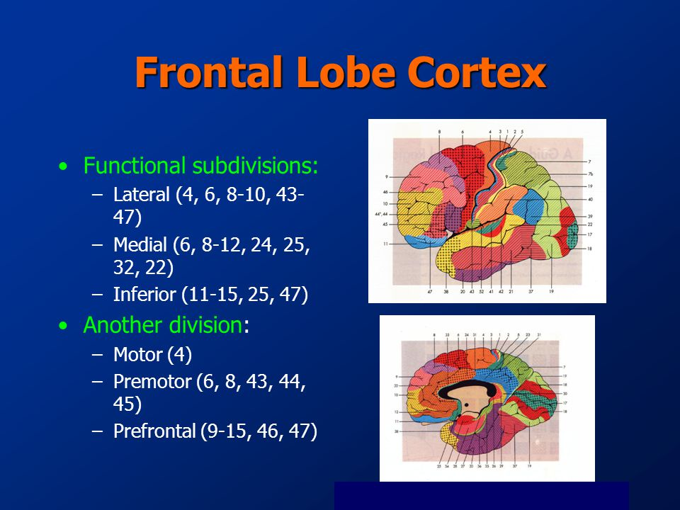 Frontal Lobe Cortex Functional subdivisions: –Lateral (4, 6, 8-10, 43- 47) –Medial (6, 8-12, 24, 25, 32, 22) –Inferior (11-15, 25, 47) Another division: –Motor (4) –Premotor (6, 8, 43, 44, 45) –Prefrontal (9-15, 46, 47)