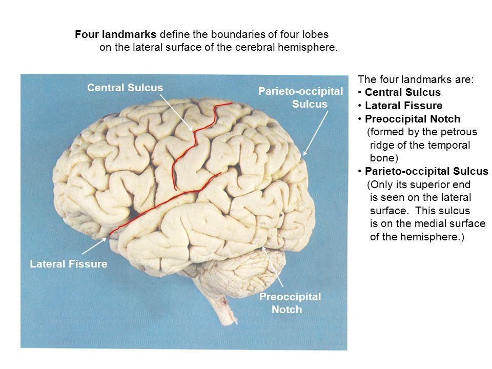 Central Sulcus Lateral Fissure Preoccipital Notch FRONTAL LOBE TEMPORAL LOBE PARIETAL LOBE OCCIPITAL LOBE Parieto-occipital Sulcus The frontal lobe is bounded by the central sulcus and the lateral fissure.