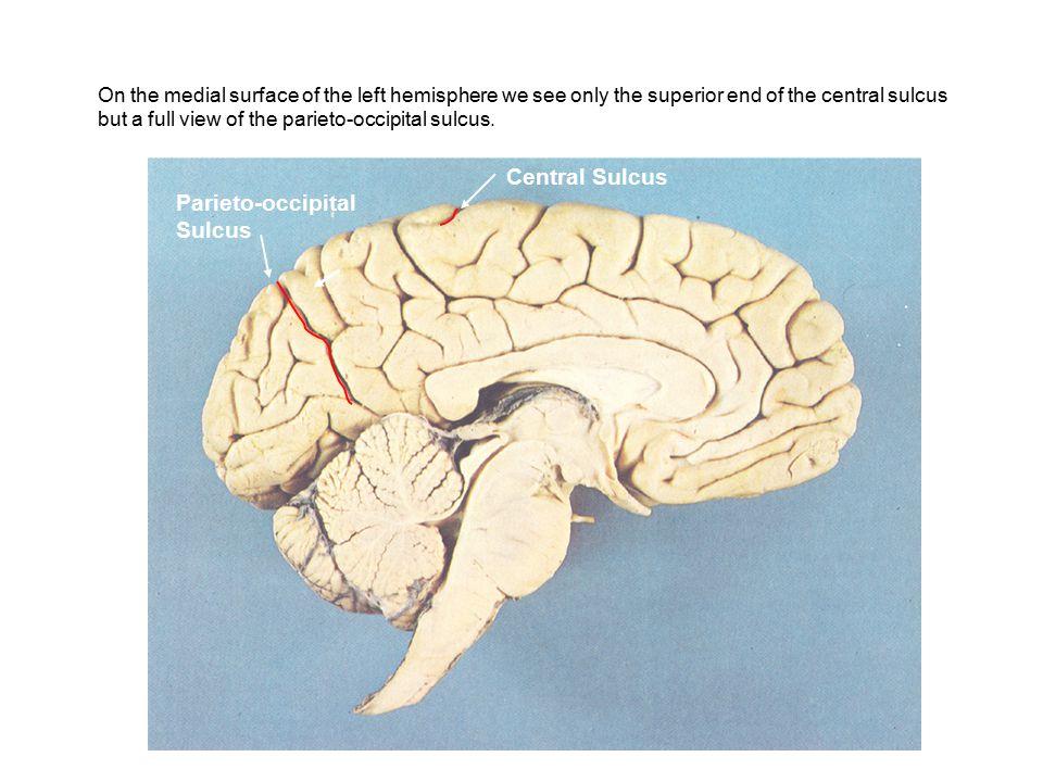 Central Sulcus Parieto-occipital Sulcus FRONTALPARIETAL OCCIPITAL At the superior end of the central sulcus, the precentral and postcentral gyri come together.