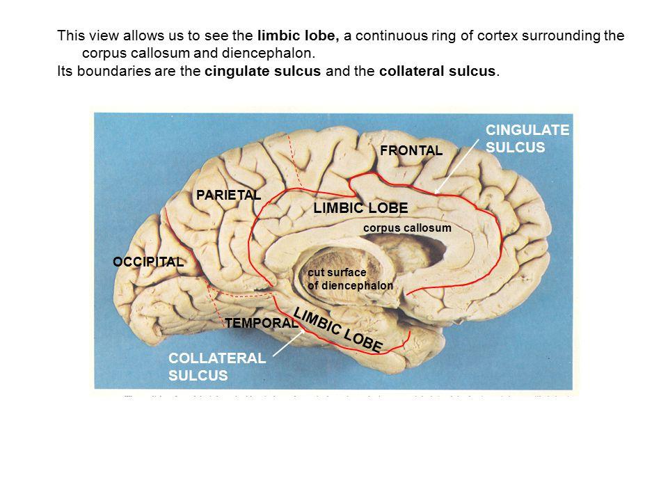 The sixth lobe of the cerebral cortex is the insula, or island lobe.